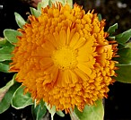 CALENDULA (English Country Garden)