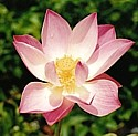 LOTUS (Pink)  - (Nelumbo nucifer) - Pure Harmony