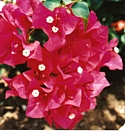 BOUGAINVILLEA - Enthusiasm