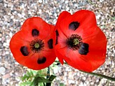 LADYBIRD (RED) POPPY