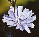 CHICORY (Bach Flower)