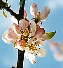 CRAB APPLE (Bach Flower)