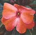 IMPATIENS (Hawaiian) - Calming Anger