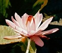 NIGHT-BLOOMING WATER LILY - Sensuality