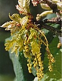 OAK (Bach Flower)
