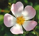 WILD ROSE (Bach Flower)