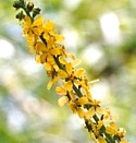 AGRIMONY (Bach Flower)