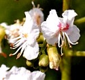 WHITE CHESTNUT (Bach Flower)